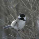 Chickadee on branch in backyard