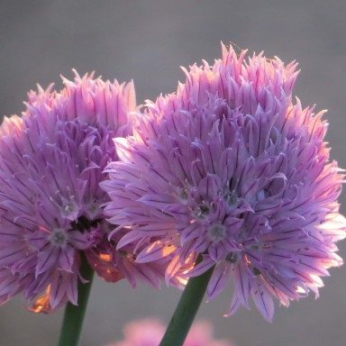Backlit chive blossoms