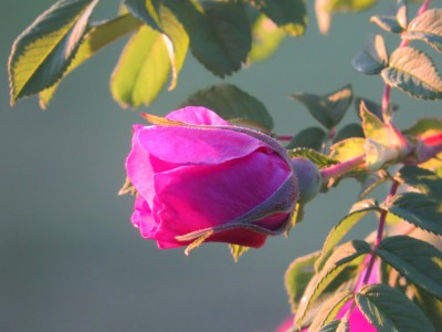 Rose bloom in June sunset