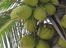 Green coconuts hang from tree in Mexico