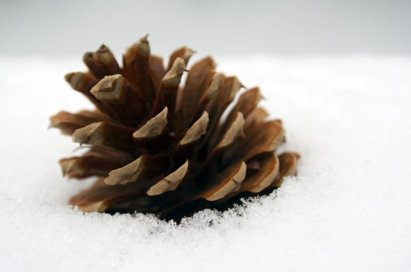 single pine cone set in fresh snow